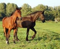 Pferde auf dem grasland Lizenzfreies Stockbild