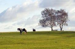 Pferde auf dem Heide Lizenzfreie Stockbilder