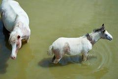 Pferde auf dem Teich stockfotos