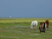 Pferde auf der Insel von juist Stockfotografie