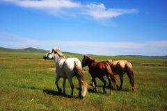 Pferde auf der Nailin Gol Wiese Stockbild
