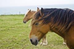 Pferde auf der Normandie-Küste Stockfotos