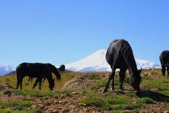 Pferde auf der Sommerherbst-Kaukasus-Wiese Stockfotografie