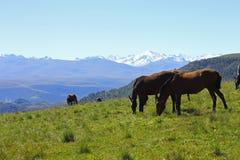 Pferde auf der Sommerherbst-Kaukasus-Wiese Lizenzfreies Stockbild