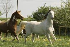 Pferde auf der Weide Stockfotografie