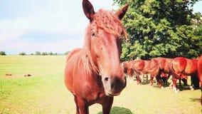 Pferde auf der Wiese stock video