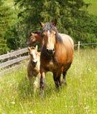 Pferde auf der Wiese Lizenzfreies Stockbild