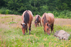 Pferde auf der Wiese stockbilder