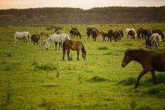 Pferde auf einem Gebiet Stockfotografie