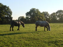 Pferde auf einem Gebiet Stockbild