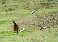 Pferde auf einem Gebiet essend und stillstehend Stockbild