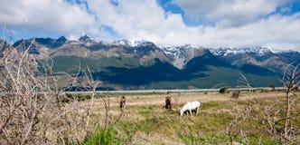 Weißes Pferd auf einem Gebiet Lizenzfreies Stockbild