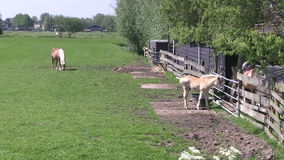 Pferde auf einem niederländischen Gebiet stock video