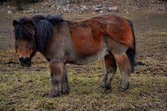 Pferde auf einem schwedischen Bauernhof Lizenzfreie Stockfotos