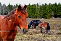Pferde auf einem schwedischen Bauernhof Stockfotos