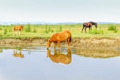 Pferde auf einem Trinkwasser der Wiese Stockfotos