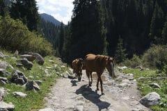 Pferde auf einer Spur in Kirgisistan Stockfotografie