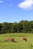 Pferde auf einer Weide Stockfotografie