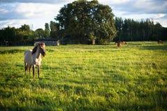 Pferde auf einer Wiese Lizenzfreie Stockfotos