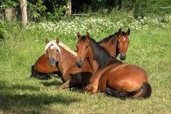 Pferde auf einer Wiese Lizenzfreies Stockbild