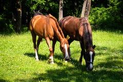 Pferde auf einer Wiese stockbild