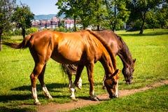 Pferde auf einer Wiese lizenzfreie stockfotografie
