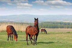 Pferde auf Feld Lizenzfreies Stockbild