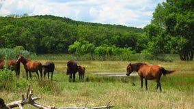 Pferde auf Flussbänken Veleka zur Stadt Sinemorets bulgarien lizenzfreies stockfoto