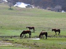 Pferde auf Frühlingswiese Stockfotografie