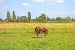 Pferde auf grüner Wiese lizenzfreie stockfotos
