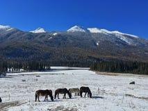 Pferde auf Kanas-Weide im Winter Lizenzfreie Stockbilder