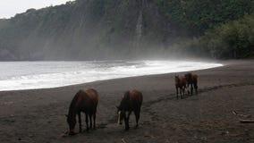 Pferde auf schwarzem Sandstrand Stockfotos
