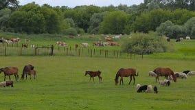 Pferde auf Sommerweide stock video footage