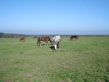 Pferde auf Weide Stockbild
