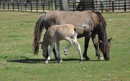 Pferde auf Weide Stute mit Fohlen adoleszenz Lizenzfreie Stockbilder