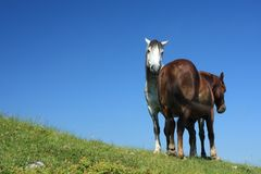 Pferde auf Wiese Lizenzfreie Stockfotos