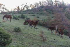 Pferde bei Sonnenaufgang auf Berg Strega, Apennines, Marken, Italien lizenzfreie stockfotos
