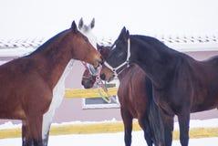 Pferde braun und weiße Farbsorgfalt für einander in der Koppel Stockfotos