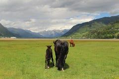 Pferde in den Alpen stockbilder