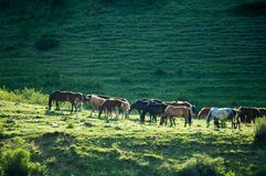 Pferde in den Bergen, pferdeartig, Nag, hoss, Kerbe, Dobbin stockbild