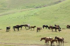 Pferde in den Bergen, pferdeartig, Nag, hoss, Kerbe, Dobbin lizenzfreie stockfotografie