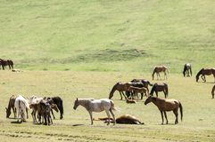 Pferde in den Bergen, pferdeartig, Nag, hoss, Kerbe, Dobbin lizenzfreie stockfotos
