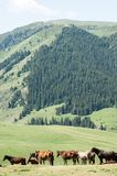 Pferde in den Bergen, pferdeartig, Nag, hoss, Kerbe, Dobbin stockfoto