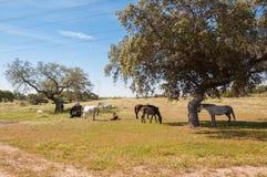 Pferde in den Weiden voll von Eichen Sonniger Frühlingstag in Extremadura, Spanien Lizenzfreie Stockbilder