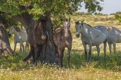 Pferde in den Weiden voll von Eichen Sonniger Frühlingstag in Extremadura, Spanien Lizenzfreie Stockfotografie