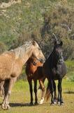 Pferde in den wild lebenden Tieren Lizenzfreie Stockfotos