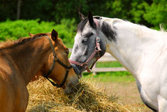 Pferde an der Ranch Stockfoto