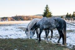 Pferde in der schneebedeckten Rollenwiese mit Lattenzaun und im Schnee auf dem t Lizenzfreies Stockbild