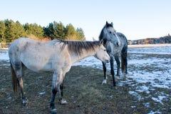 Pferde in der schneebedeckten Rollenwiese mit Lattenzaun und im Schnee auf dem t Stockbilder