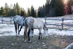 Pferde in der schneebedeckten Rollenwiese mit Schienenzaun und im Schnee auf den Bäumen im Hintergrund Lizenzfreies Stockbild